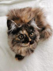 Perser Kitten Mädchen darf ausziehen