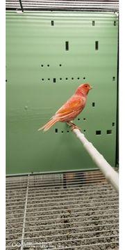 Kanarienvogel in Rot B Henne