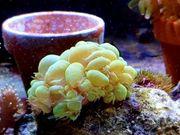 Meerwasser Blasenkoralle