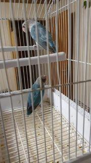 lovebird vogel