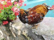 Hühner Hennen Hahn Henne Schwedische