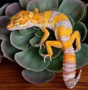 Leopardgecko 1 0 Tangerine TA