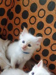 Heilige Birma Kitten Kater in