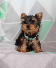 Mini Yorkshire Terrier Welpen Yorkie