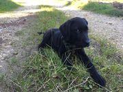 Labrador-Retriever Rüde Welpe