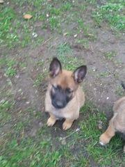 Malinios belgischer Schäferhund Welpen