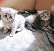 BKH Main Coon kitten