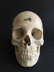 Human Schädel