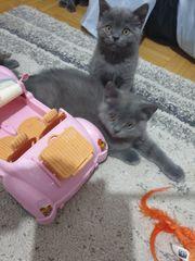 BKH Baby Kitten Katzen Männchen