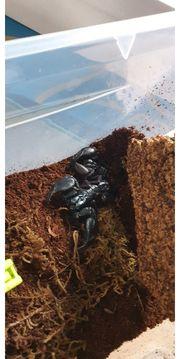 1 Laos Skorpion