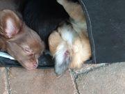 Verschmuste Chihuahua-Welpen suchen Kuschelcouch