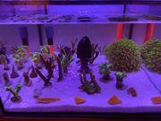 Korallen Ableger ab 5 - Acropora - Enzmann-Stylophora