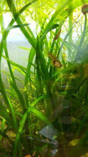 Pflanzen für Aquarium Aquariumpflanzen