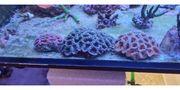acanthastrea lordhowensis korallen lps meerwasser