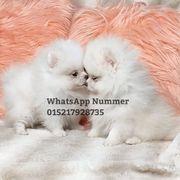 Pomeranian welpen mini Zwergspits