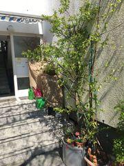 Pflaumenbaum Gelb Kübelpflanze Baum Pflanze