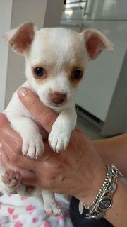 Chihuahua Mini Welpe