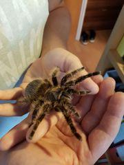 3 Vogelspinnen Weibchen ausgewschsen