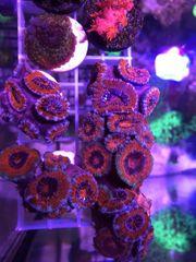meerwasser korallen Acanthastrea
