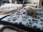 Ragdoll Katzen mit Stammbaum Tierschutzvertrag