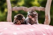 Elfen EKH Kitten