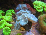 Meerwasser Korallen Ableger Tiere Anemonen