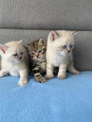 BKH British Kurzhaar Kitten Katze