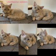 Katzen kitten katze Sibirischekatze nevamasquarade