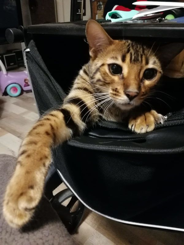 Katzenmädchen - Bengalin