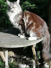 Wunderschöne Maine Coon Katze knapp