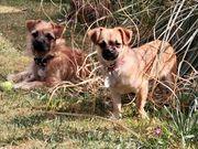 2 Mischlingshunde 7 Monate