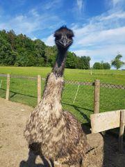 Emu 2 Monate alt