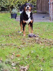 Deckrüde Appenzeller sennenhund