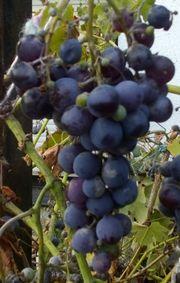 Biete Trauben Beerenfarbe-Blau 2 Järige