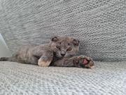 Scottish Fold babykatze