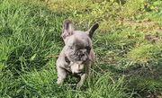 französische Bulldogge in blau 2