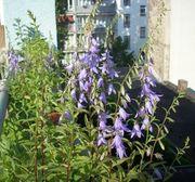 Glockenblume Naturschutz Wildkräuter Ackerglockenblume schattig
