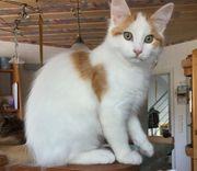 Sibirisches Kitten reinrassig