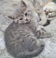 Suche Bkh kitten Weibchen