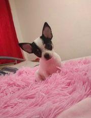 Zuckersüßer Chihuahua Welpe