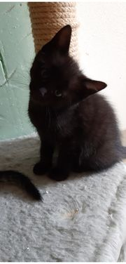 Süße Katzenbabys Mutter Maine Coon