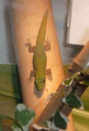 Goldstaubtaggecko Gecko Phelsuma laticauda laticauda