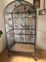 Rosenköpfchen Papagei Agapornis Voliere Käfig