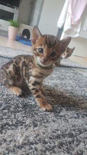 Super Süsse Bengal Kitten