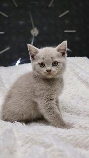 Britisch Kurzhaar- Kitten