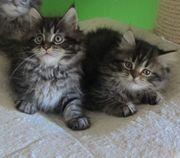 Maine Coon Kitten reinrassig abzugeben