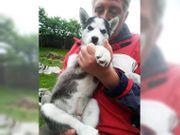 Husky welpen - blauen Augen
