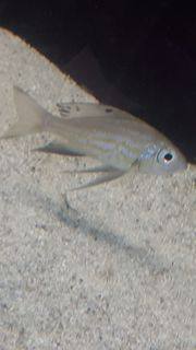 Fische Fadenmaulbrüter Aulonocranus demindti Burundi