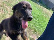 Rüde Schäferhund Welpe stockhaar