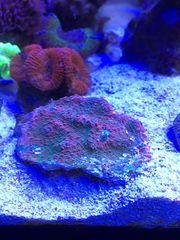 Koralle Chalice Echinophyllia echinoporoides LPS